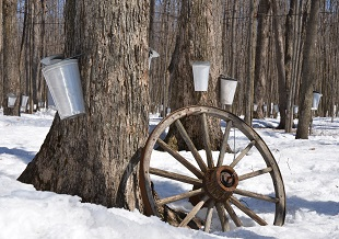 Learn to Tap A Tree and More At Local Maple Syrup Festivals!